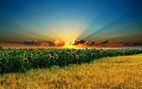 Подсолнух - цветок бога солнца