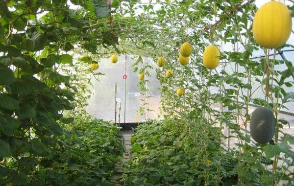 Выращивание дынь и арбузов в теплице