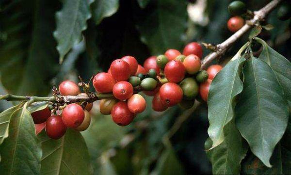 Кофе (Cofféa arábica)