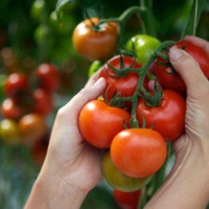 Условия выращивания помидор в теплице