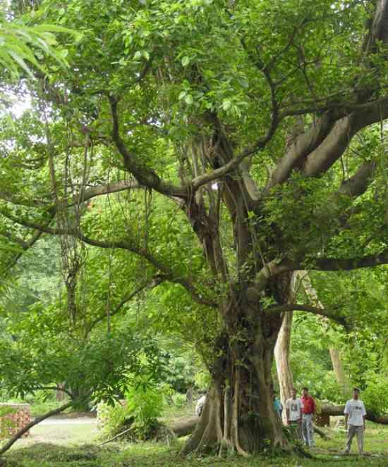 Макассар черное дерево
