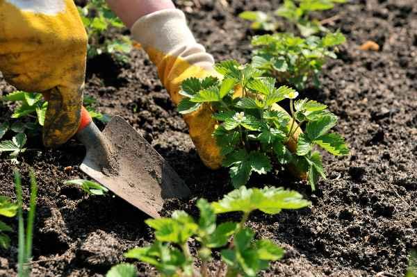 Как вырастить садовую землянику