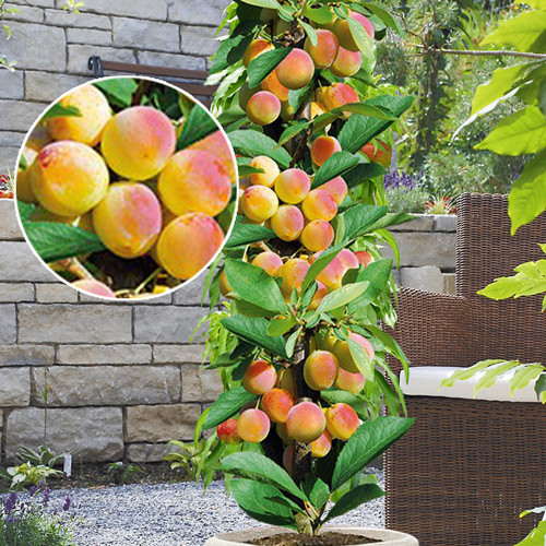 Сортовые абрикосы порадуют вас щедрым урожаем