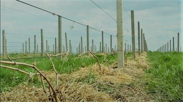 Современное виноградарство. Шпалерный трос
