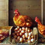 Практические советы желающим купить курятник и что необходимо знать о курятниках