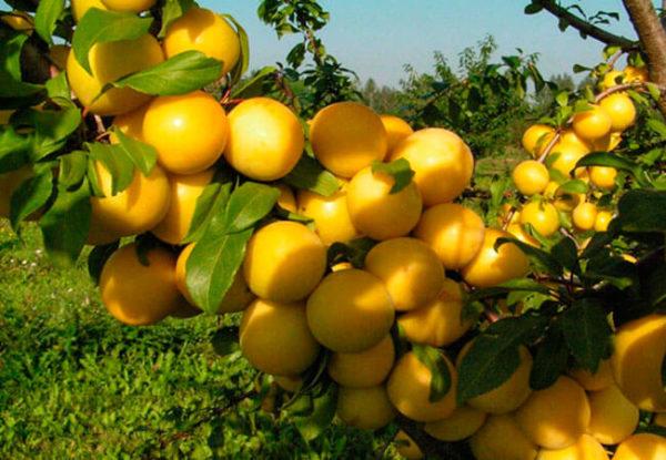 Продажа саженцев плодовых деревьев, декоративных, лиственных и других видов растений